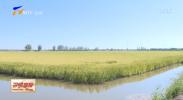 建设黄河流域生态保护和高质量发展先行区|宁夏发展稻渔综合种养 实现稻香蟹肥乡村美-20210913
