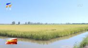 建设黄河流域生态保护和高质量发展先行区| 宁夏发展稻渔综合种养 实现稻香蟹肥乡村美-20210912