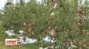 全面推进乡村振兴·丰收时节丨宁夏:苹果园里果香飘 金秋时节迎丰收-20211008