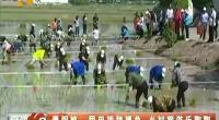 青铜峡:稻田插秧摸鱼 乡村旅游乐陶陶-2018年5月24日