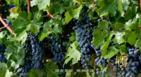 《品牌宁夏》-贺兰山的葡萄熟了-191008