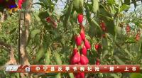 """中宁县反季节枸杞抢""""鲜""""上市-200328"""