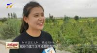 红寺堡:黄花采摘一片繁忙 技能比武喜庆丰收20200712