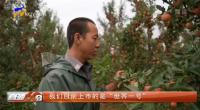 红寺堡:苹果种植鼓起群众腰包-20210917